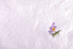 Krokus in Schnee-gestreiftem breitem Lizenzfreie Stockbilder