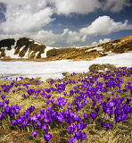 Krokus-sneeuwklokjes stock foto