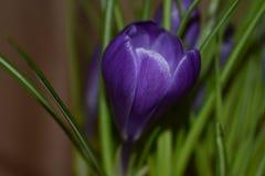 Krokus som blommar i vår royaltyfri bild