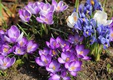 Krokus und Iris pumila Stockfotos