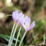 Krokus Vernus, naturliga blommor grundar i undervegetation av ett alpint arkivbilder