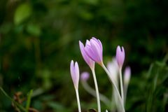 Krokus Vernus, naturliga blommor grundar i undervegetation av ett alpint fotografering för bildbyråer