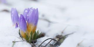 Krokus w śnieżystym ogródzie obrazy royalty free