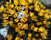 Krokus-Weiß im Gelb stockfotos
