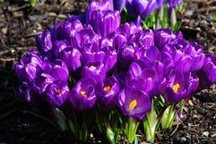 krokus wiosna Zdjęcia Royalty Free