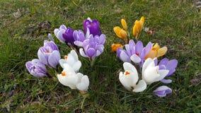 Krokus - wiosna Kwitnie przed zmierzchem Fotografia Stock