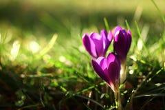 Krokus wiosny kwiat fotografia stock