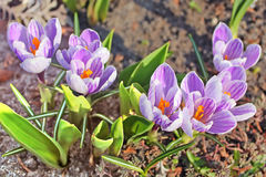 Krokus wiosny kwiaty Obraz Stock