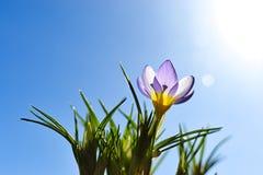 Krokus in zonlicht stock afbeeldingen