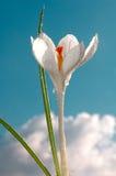 Krokusa biel z nieba tłem Obrazy Stock