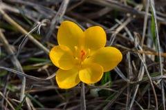 Krokusa chrysanthus Zdjęcie Royalty Free
