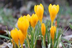 Krokusa chrysanthus Obraz Stock