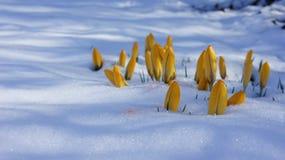 Krokusa Europe żółty śnieżny zbliżenie Fotografia Stock
