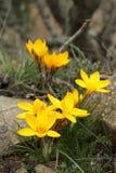 krokusa kolor żółty Zdjęcie Royalty Free