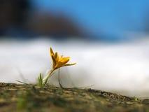 krokusa kolor żółty Fotografia Stock