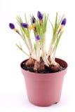 Krokusa kwiat Obraz Royalty Free
