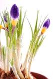 Krokusa kwiat Zdjęcie Stock