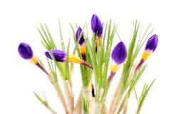 Krokusa kwiat Zdjęcia Royalty Free