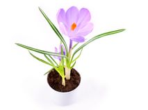 Krokusa kwiat Fotografia Royalty Free