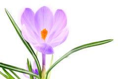 Krokusa kwiat Obrazy Royalty Free