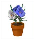 krokusa kwiat odizolowywający garnek Wiosna Zdjęcie Stock