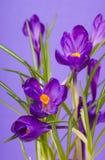 Krokusa kwiat w wiośnie Obraz Stock