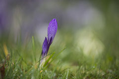 Krokusa kwiat w wiosny trawie, Cornwall, UK Obrazy Royalty Free
