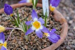 Krokusa kwiatu kwiat Zdjęcia Stock