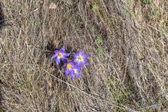 Krokusa kwitnienie przy wiosna sezonem w górach Fotografia Royalty Free