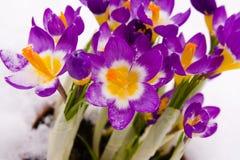 krokusa purpur śnieg obraz stock