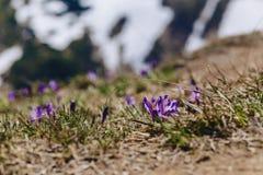 Krokusa vernus przy carpathian górami Zdjęcie Stock