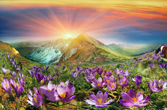 Krokusar är de första blommorna i bergen Arkivbild
