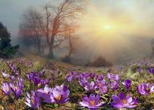 Krokusar är de första blommorna i bergen Fotografering för Bildbyråer