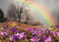 Krokusar är de första blommorna i bergen Arkivfoto