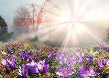 Krokusar är de första blommorna i bergen Royaltyfri Fotografi