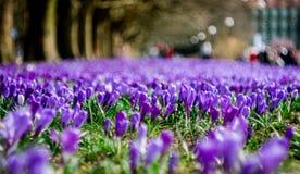 Krokusar blommar parkerar in under våren arkivbilder