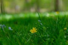 Krokusar - de första blommorna av våren Tyskland royaltyfri foto