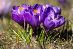 Krokusar de första blommorna fotografering för bildbyråer