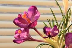 Krokusar - ett litet, vår-blomning växter Arkivbild
