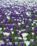 krokusar field purpur white Arkivfoto