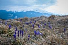 Krokusar i Carpathian berg f?r v?r arkivfoto