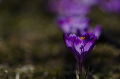 Krokusar i dalen Chocholowska Royaltyfri Bild