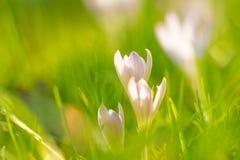 Krokusar i gräset royaltyfri bild