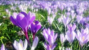 Krokusar i olika skuggor av violett purpurfärgat blomma i vår på påsktid royaltyfri bild