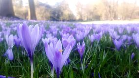 Krokusar i olika skuggor av violett purpurfärgat blomma i vår på påsktid arkivbilder