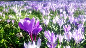 Krokusar i olika skuggor av violett purpurfärgat blomma i vår på påsktid arkivfoton