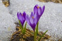 Krokusar i snow Fotografering för Bildbyråer