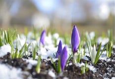 Krokusar i snowen Royaltyfria Bilder