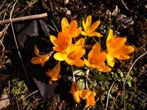 Krokusar i solen för trädgård på våren arkivfoto