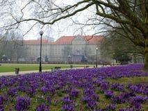 Krokusar på Szczecin Royaltyfria Bilder